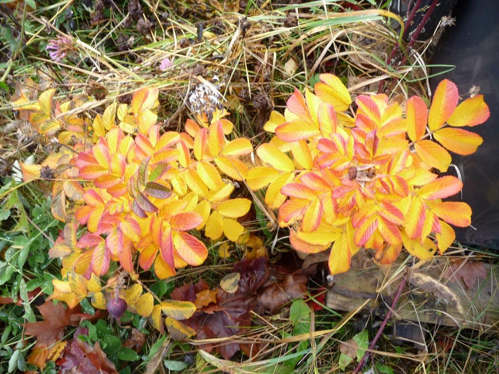 Närbild gula blad