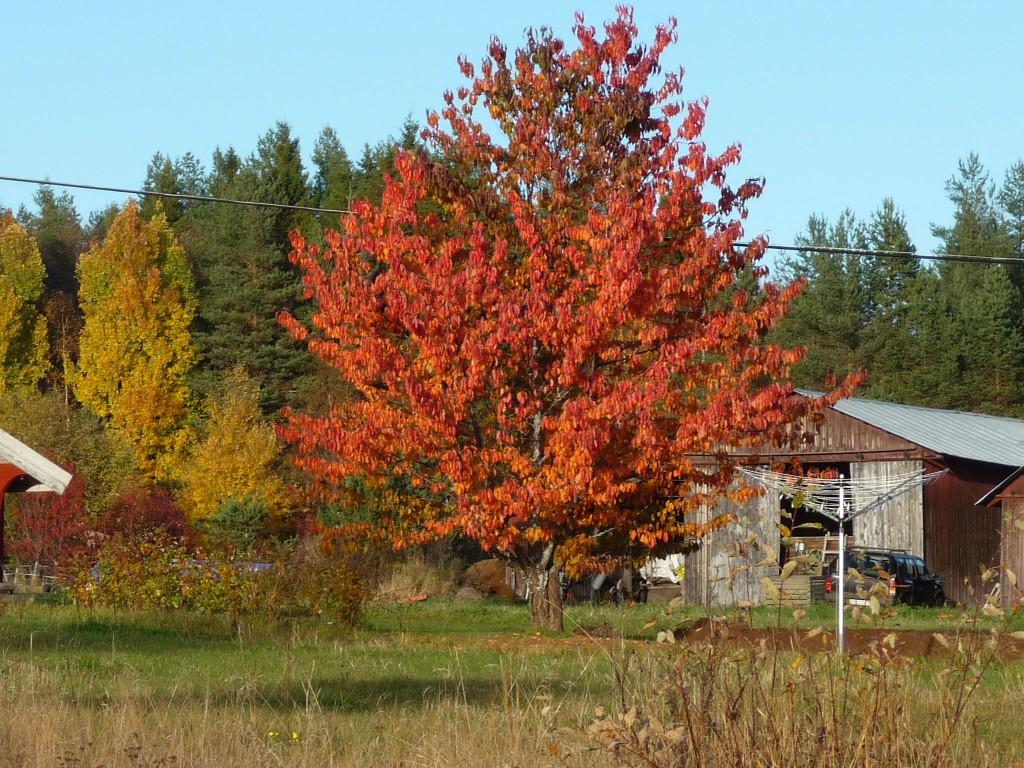 Rött träd2